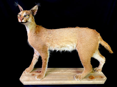Southern Caracal Taxidermy - Caracal caracal