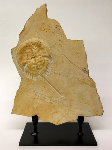 "Horsehoe Crab Fossil 5&1/2"" - Mesolimulus walchi"