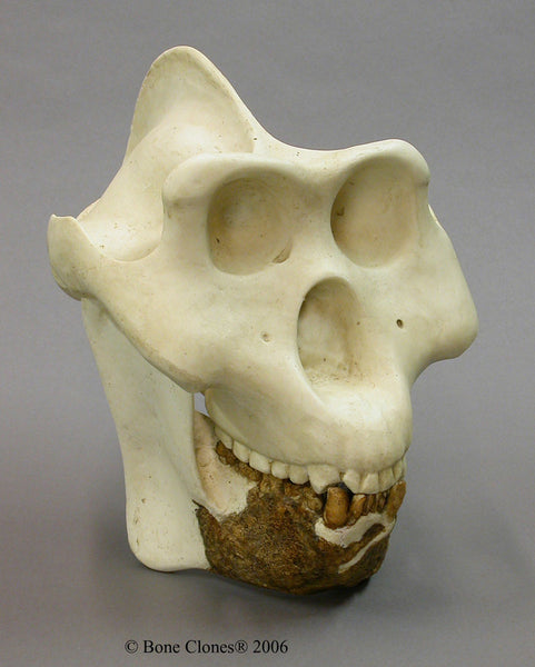 Gigantopithecus blacki Cast Replica Skull Reconstruction #BC-140