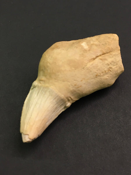 "Extinct ""Sea Lion"" Canine Tooth 1&11/16"" - Allodesmus sp."