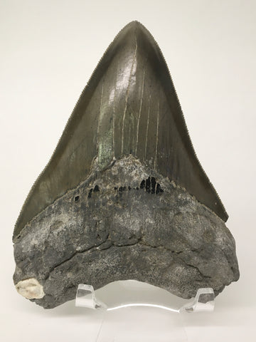 "Megatooth Shark tooth 4&7/8"" - Carcharocles megalodon (gigantic shark) #3"