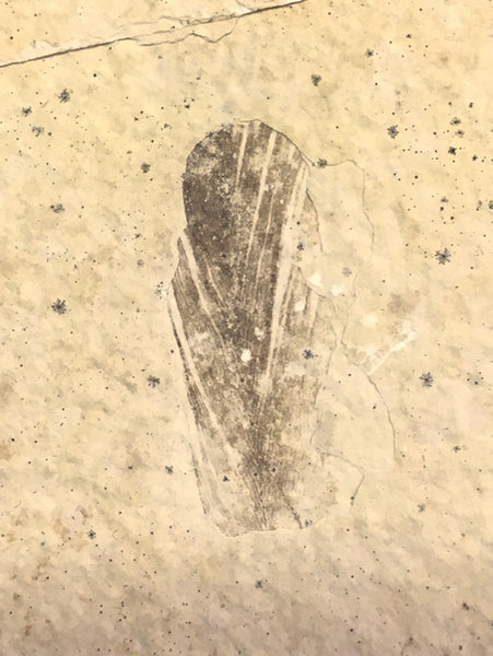 Rare Bird Feather Fossil