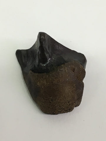 "Triceratops tooth 1/2"" (large horned ceratopsian)"