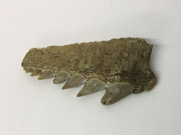 "Sixgill Shark Tooth 1"" - Hexanchus gigas"