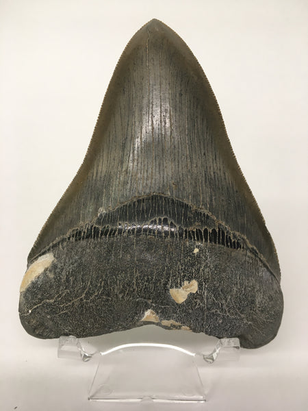 "Megatooth Shark tooth 4&1/4"" - Carcharocles megalodon (gigantic shark) #2"