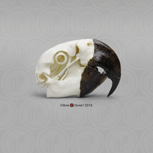 Parrot (Hyacinth Macaw) Skull Cast Replica - Anodorhynchus hyacinthinus #BC-029