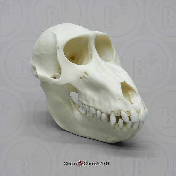 Monkey Skull (Mandrill Baboon - female) Cast Replica - Mandrillus sphinx #BC-261