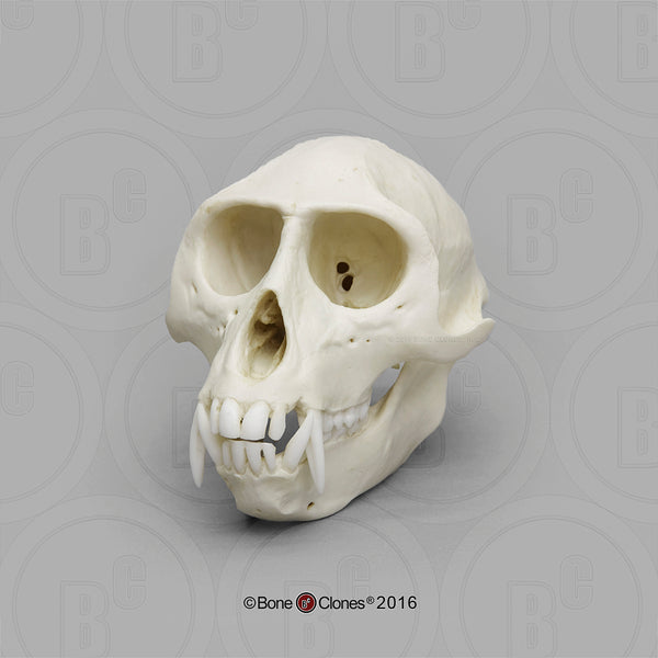 Monkey Skull (Vervet - male) Cast Replica - Cercopithecus pygerythrus #BC-069