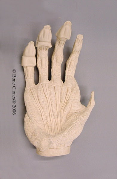 Gorilla right Hand Muscle (Western Lowland - male) Life Cast Replica - Gorilla gorilla #LC-15