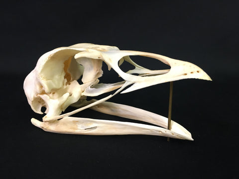 Turkey Skull - Meleagris gallopavo