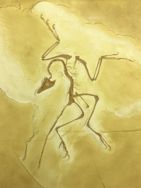 "Archaeopteryx Cast Replica (Berlin Specimen) - the ""first bird"""