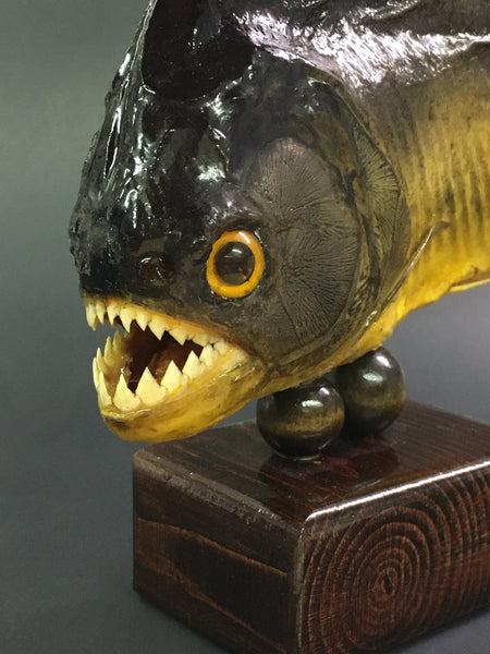 Piranha Taxidermy - Serrasalmus sp.