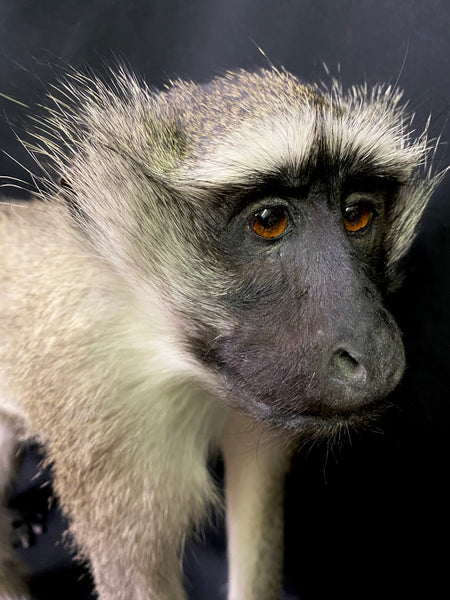 Vervet Monkey Taxidermy - Chlorocebus pygerythrus