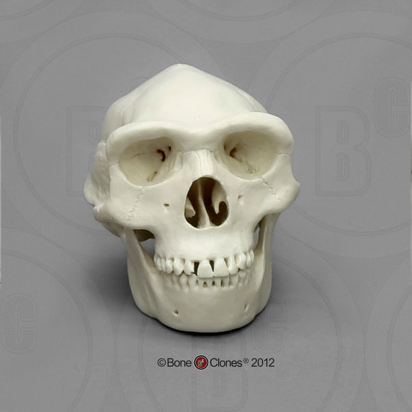 1/2 scale Homo erectus scale Model Skull #KAM-05