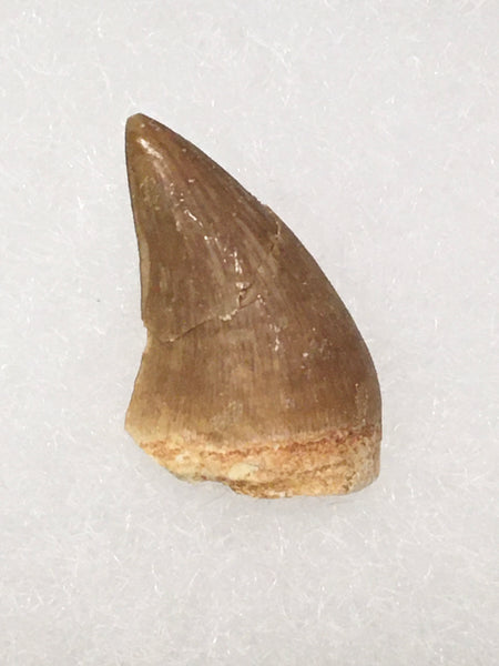 "Halisaurus Tooth 3/4"" - (large mosasaur)"