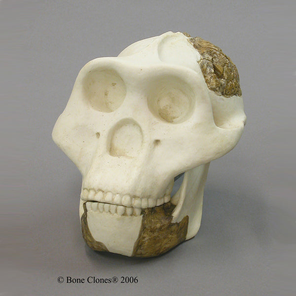 Meganthropus sp. Cast Replica Skull Reconstruction #BC-141