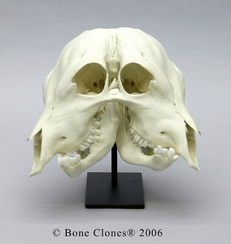 Two-faced Calf Skull (Craniofacial duplication) Cast Replica - Bos taurus #BC-246
