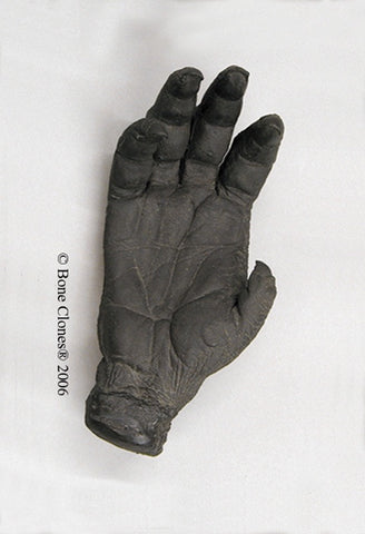 Orangutan right Hand (Bornean - female) Life Cast Replica - Pongo pygmaeus #LC-11