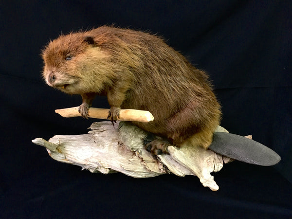 North American Beaver Taxidermy - Castor canadensis