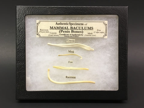 Baculum Collection (Penis Bones)