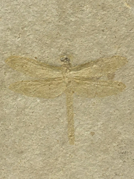 "Dragonfly Fossil 10&1/4"" - Tarsophlebia sp."