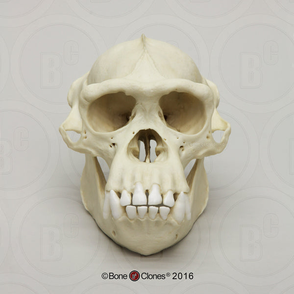 Chimpanzee Skull (male) Cast Replica - Pan troglodytes #BC-003