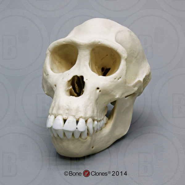 Bonobo Skull (female) Cast Replica - Pan paniscus #BC-123