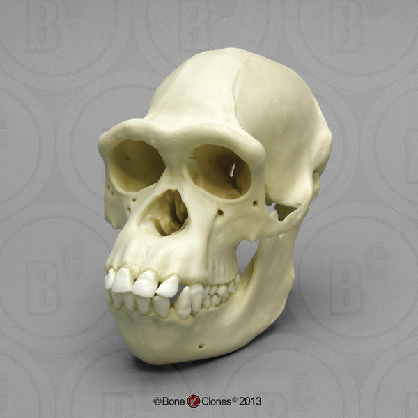 Chimpanzee Skull (female) Cast Replica - Pan troglodytes #BC-248