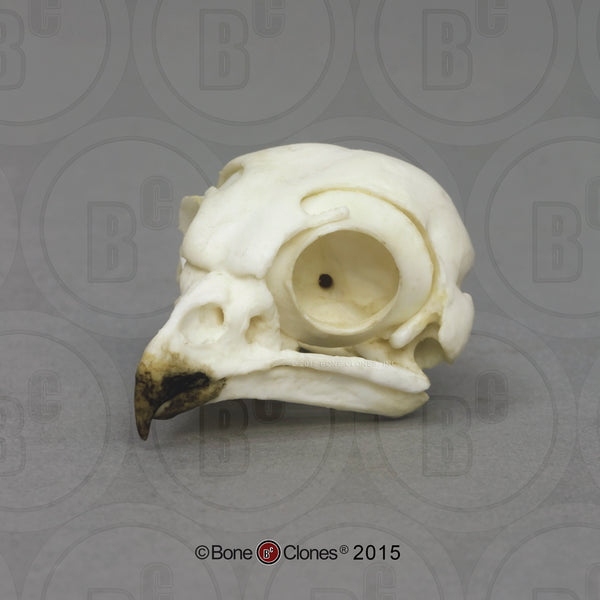 Owl Skull (Burrowing Owl) Cast Replica - Strix varia #BC-155