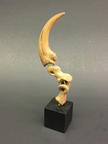 "Dinosaur: Velociraptor Killing Claw Cast Replica w/ custom base (small dromaeosaurid ""raptor"" dinosaur)"