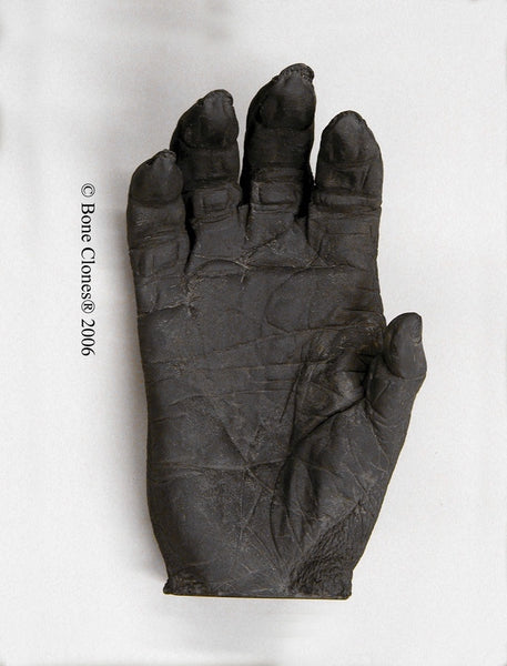 Gorilla right Hand (Western Lowland - male) Life Cast Replica - Gorilla gorilla #LC-01