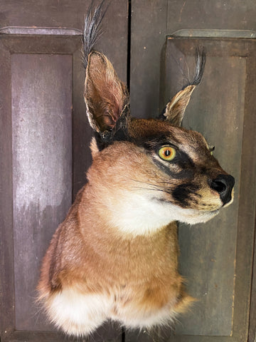 Southern Caracal Taxidermy (Shoulder Mount) - Caracal caracal