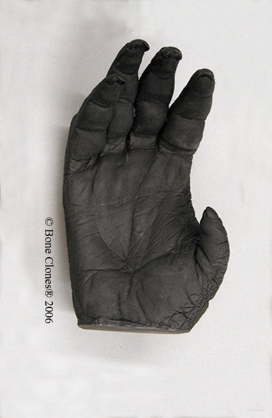 Orangutan right Hand (Sumatran - male) Life Cast Replica - Pongo abelii #LC-04