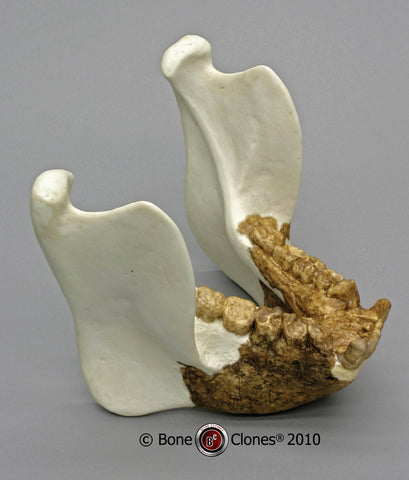 Gigantopithecus blacki Cast Replica Jaw Reconstruction #BC-140-J