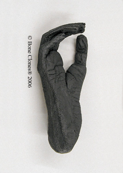 Gibbon (White-handed) Foot Life Cast Replica - Hylobates lar #LC-14