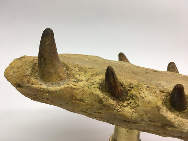"Crocodile Jaw Fossil 8&1/4"" - species undetermined"