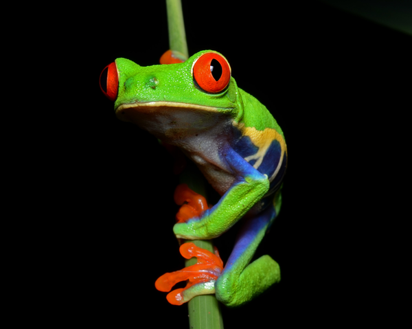 Diaphonized Red-eyed Tree Frog - Agalychnis callidryas