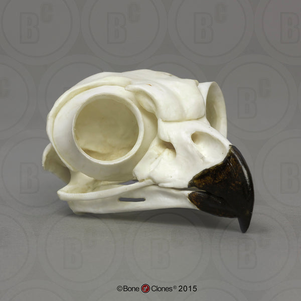 Owl Skull (Great Horned Owl) Cast Replica - Bubo virginianus #BC-072