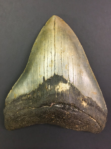 "Megatooth Shark tooth 4&1/16"" - Carcharocles megalodon (gigantic shark)"