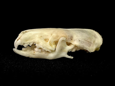 Asian House Shrew Skull - Suncus murinus