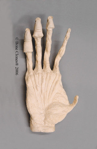 Orangutan right Hand Muscle (Sumatran - male) Life Cast Replica - Pongo abelii #LC-16