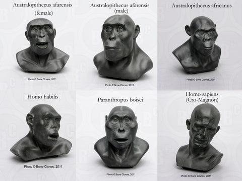 1/4 scale Set of 6 Hominid Busts #AD-SET