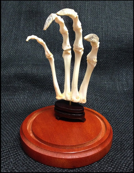 American Alligator Skeletal Foot in Dome - Alligator mississippiensis - #DR2