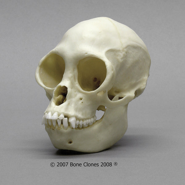 Monkey Skull (Black Spider Monkey) Cast Replica - Ateles paniscus #BC-265