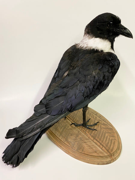 African Pied Crow Taxidermy - Corvus albus