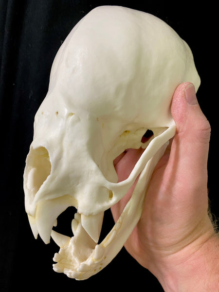 Bat Skull (Vampire Bat) XL 8:1 Scale Cast Replica - Desmodus rotundus #TSBC-333