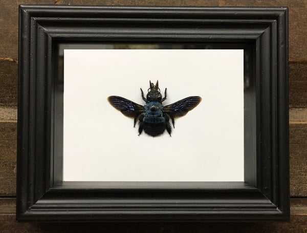 Bee: Blue Carpenter Bee - Xylocopa caerulea