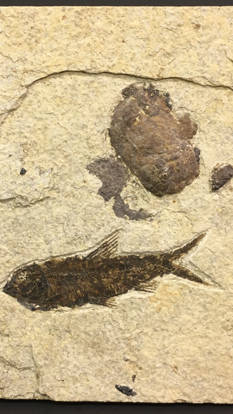 "Bony Fish Fossil with Coprolite (Dung) 5&3/16""L - Knightia sp."