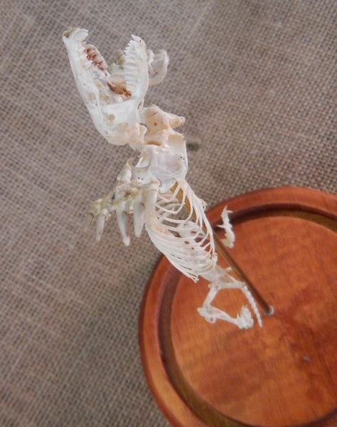 Eastern Mole Skeleton in Dome - Scalopus aquaticus - #DM1