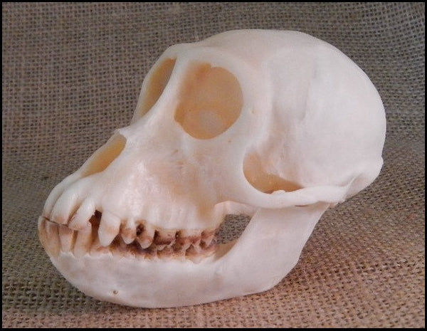 Crab-eating Macaque Monkey Skull - Macaca fascicularis - #SM2